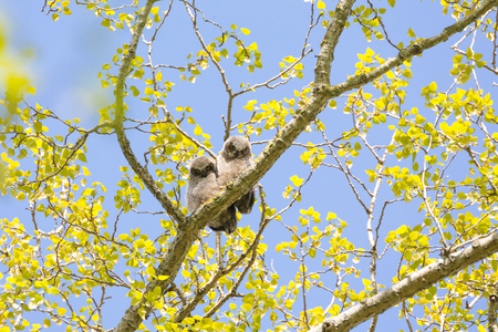 great horned owl chick at Delta BC Canada Stock Photo - 100638915