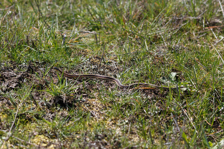 red garter snake at Vancouver BC Canada