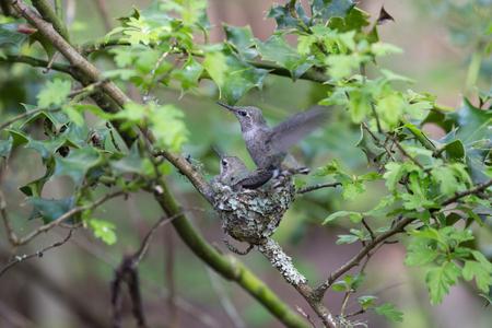 Anna's Hummingbird Chicks at Delta BC Canada