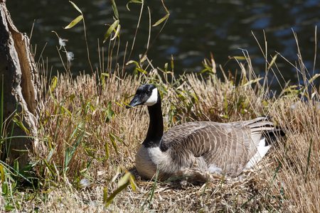Canadian goose nest at Vancouver BC Canada
