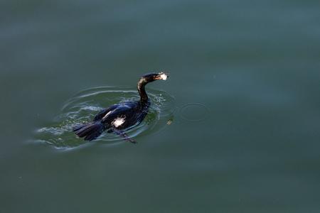 Pelagic Cormorant hunting for food at BC Canada