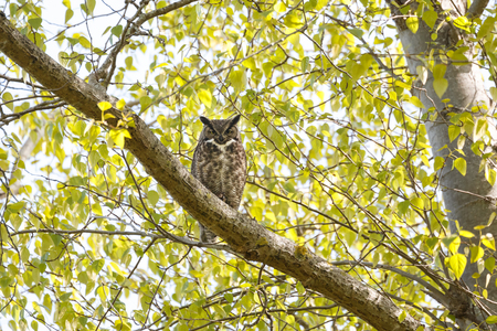 great horned owl at Delta BC Canada Stock Photo - 100626021