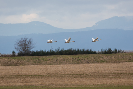 Flying Trumpeter swan  migration at  BC Canada Banco de Imagens
