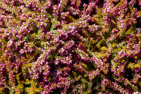 Heather Herbs Plants, nature background top view.