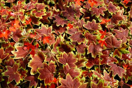 geranium vancouver centennial flowers, nature background top view. Archivio Fotografico