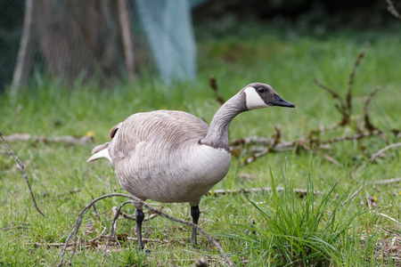 Albino Canadian goose at Vancouver BC Canada Stock Photo