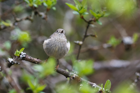 ruby crowned kinglet at Vancouver BC Canada