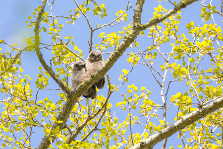 great horned owl chick at Delta BC Canada Stock Photo - 103008292