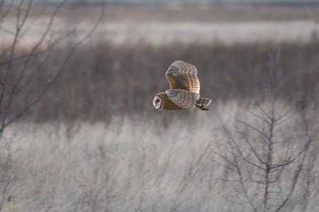Barn owl hunting for food at BC Canada