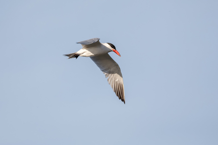 Flying Caspian Tern at Vancouver BC Canada