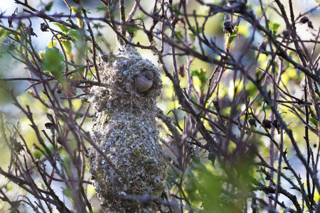 American bushtit Bird nest at Vancouver BC Canada Stok Fotoğraf
