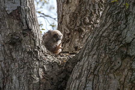 great horned owl chick at Delta BC Canada