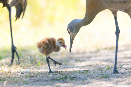 11 days sandhill crane baby at Reifel Bird Sanctuary, Vancouver BC Canada Stock Photo
