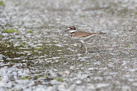Killdeer Bird on ground at Vancouver BC Canada