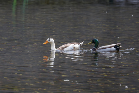 mallard and Hybrid domestic ducks at Vancouver BC Canada