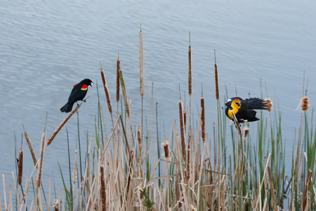 Yellow headed Blackbird and red winged blackbird fight for territory at Vancouver BC Canada