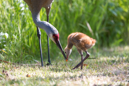 13   days sandhill crane baby at Reifel Bird Sanctuary, Vancouver BC Canada