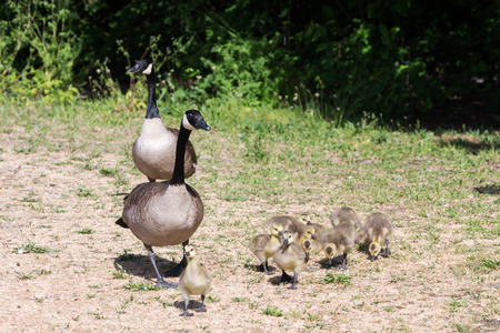 Canada goose baby at  Vancouver BC Canada
