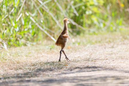 13 days sandhill crane baby at Reifel Bird Sanctuary, Vancouver BC Canada Banque d'images - 106146230
