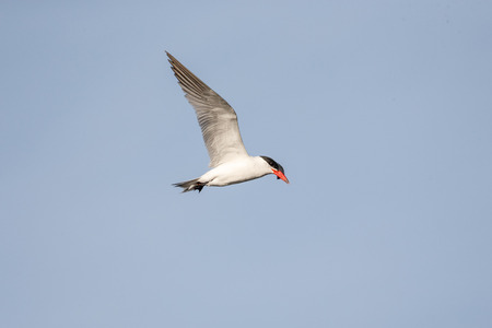 Flying Caspian Tern at Vancouver BC Canada Banque d'images - 106146182