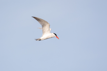 Flying Caspian Tern at Vancouver BC Canada Banque d'images - 106095787