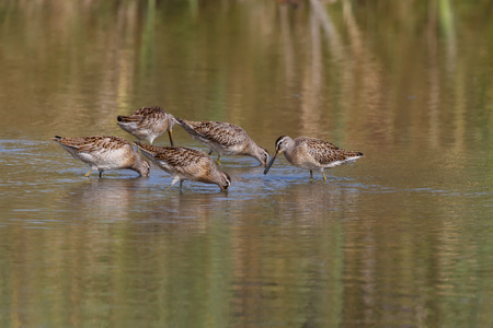 Long-billed dowitcher at Delta BC Canada