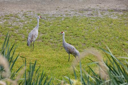 Sandhill crane bird at Delta BC Canada