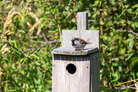 Male House Sparrow at Reifel Bird Sanctuary, Vancouver BC Canada