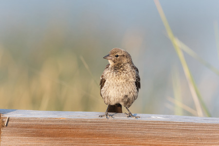 young red winged blackbird, Vancouver BC Canada