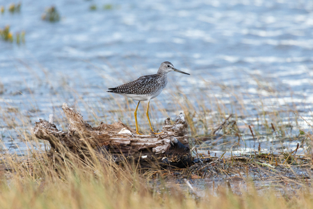 Greater yellowlegs at Blackie Spit park, Vancouver BC Canada