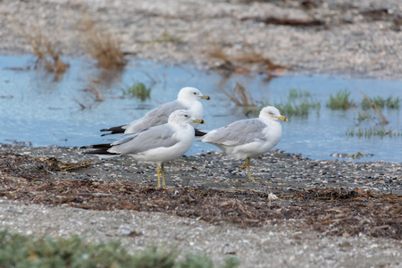 ring billed gull at Blackie Spit park, Vancouver BC Canada