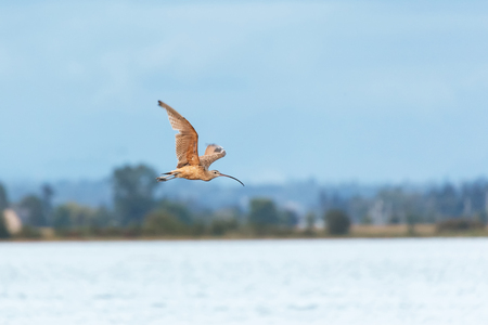 Long billed curlew at Blackie Spit park, Vancouver BC Canada