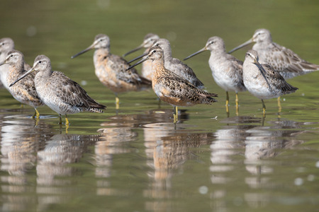Long-billed dowitcher bird at Vancouver BC Canada Stock Photo