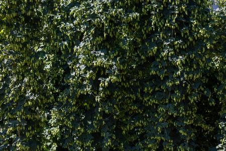 Ripe green hop flower in BC Canada Archivio Fotografico - 107874155