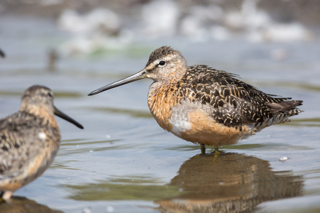 Long-billed dowitcher bird at Vancouver BC Canada Stock Photo - 107874162