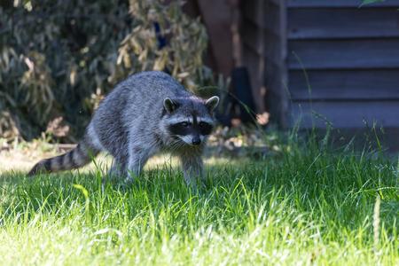 Raccoon in backyard at Vancouver Canada