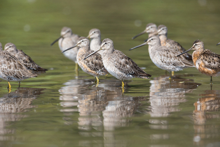 Long-billed dowitcher bird at Vancouver BC Canada Stock Photo - 108883420