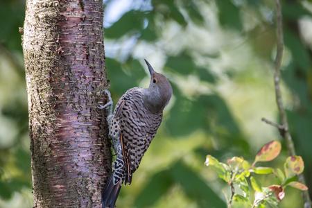 Northern flicker Bird at Vancouver BC Canada