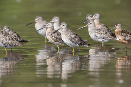 Long-billed dowitcher bird at Vancouver BC Canada Stock Photo - 108883562