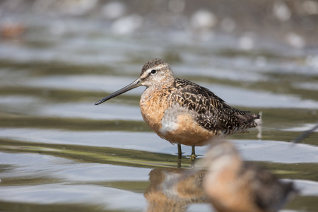Long-billed dowitcher bird at Vancouver BC Canada Stock Photo - 108883569