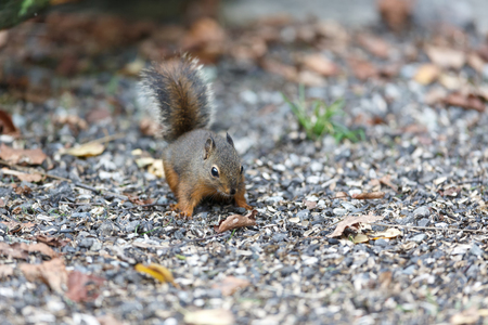 A Small Douglas squirrel at BC Canada Imagens