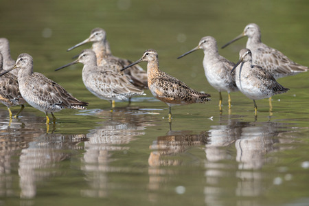 Long-billed dowitcher bird at Vancouver BC Canada Stock Photo - 109496371
