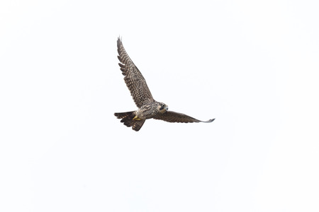 Flying Peregrine falcon at Vancouver BC Canada.