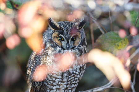 long eared owl at Vancouver BC Canada