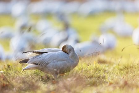 migrating Snow Geese at Vancouver BC Canada