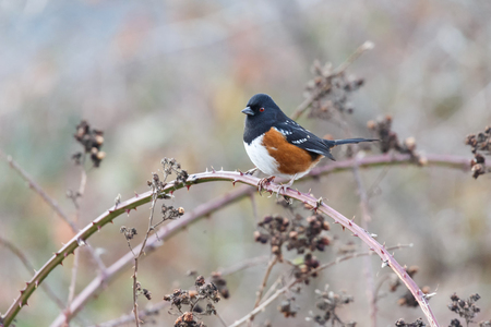 spotted towhee bird at Vancouver BC Canada
