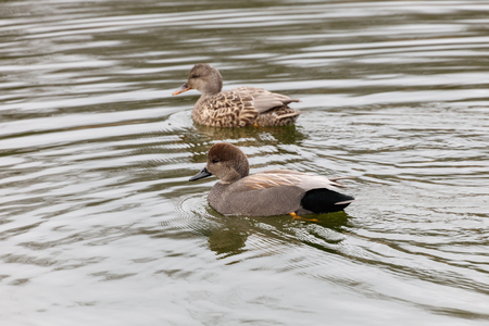 a pair of gadwall duck  in Vancouver BC Canada.