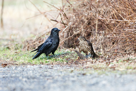 A Merlin caught a European Starling, northwestern crow try to steal food,   in Vancouver BC Canada. 版權商用圖片