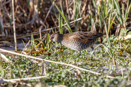 waterbird sora rail at terra nova park,  Richmond BC canada