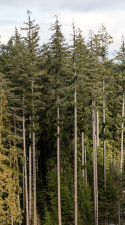 tall green pine tree for nature background. Stock Photo